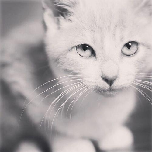 Kitten Domestic