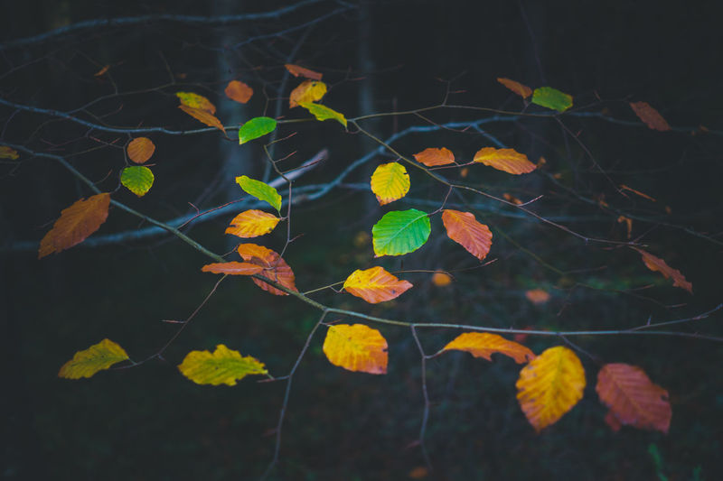 Leaves with dark background Plant Growth Leaf Plant Part Nature No People Day Close-up Beauty In Nature Autumn Selective Focus Yellow Outdoors Change Vulnerability  Tree Fragility Tranquility Land Leaves Natural Condition