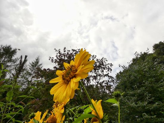 Yellow Flower Nature Beauty In Nature No People Cloud - Sky Yellow Day Outdoors Summer Sky Close-up Flower Head Freshness From My Point Of View Eyemphotography EyeEm Nature Lover August2017 Year Cycle In The Garden Outdoors Photograpghy  Silence Moment Green Color Green Green Green!  Beautiful Day Outdoorlife