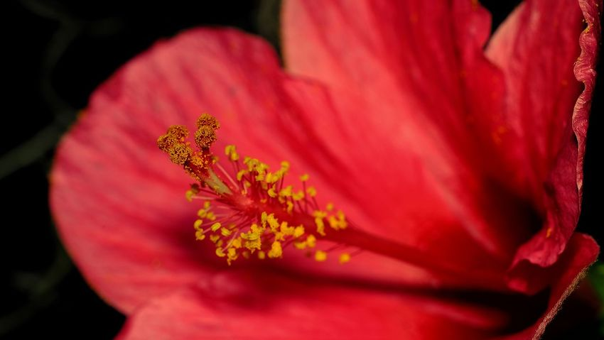 Pollen red flower Close-up Red Flower Nature Outdoors Day Bloom Bunga Raya Rond Abstract Beauty In Nature Pant Blur Background Growth Passing Mean Fragility Petal Day Outdoor Sprinkles Yellow Green Glitter