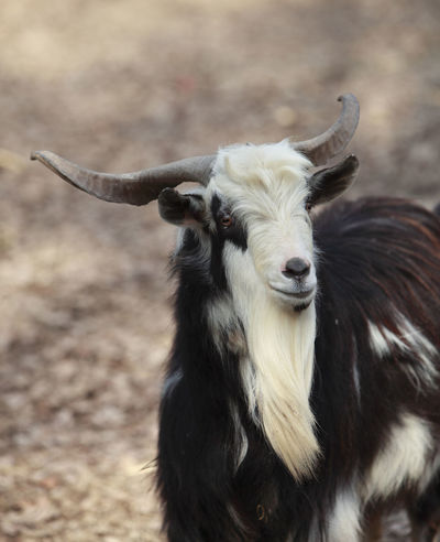 Billy Goat Capra Hircus Goat Horns Animal Themes Buck Close-up Domestic Animals Field Focus On Foreground Goat Portrait Livestock Male Male Goat Mammal Nature One Animal Portrait Whool