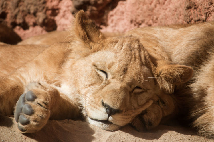Close-up of lion relaxing outdoors