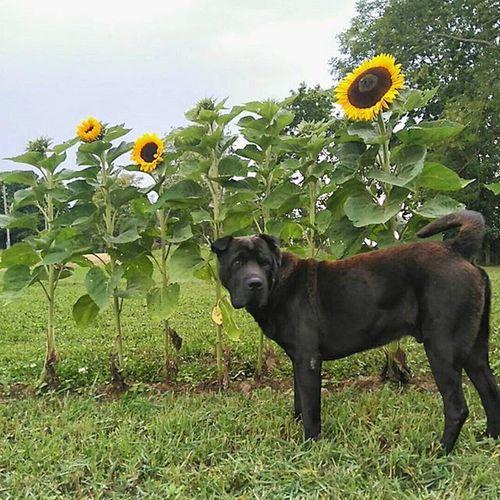 Trapene Do BlackDog Sunflowers