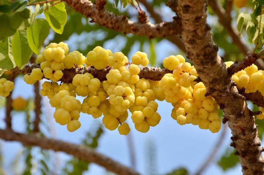 star gooseberry Star Gooseberry Growth Food And Drink Fruit Day Tree Outdoors Bunch No People Focus On Foreground Low Angle View Green Color Beauty In Nature Freshness Hanging Nature Agriculture