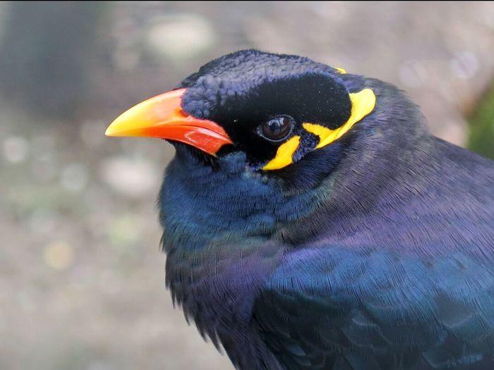 Beo Bird Photography Birds Lover Natural Colors Birds_collection