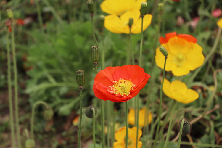 Close-up of yellow poppy flowers