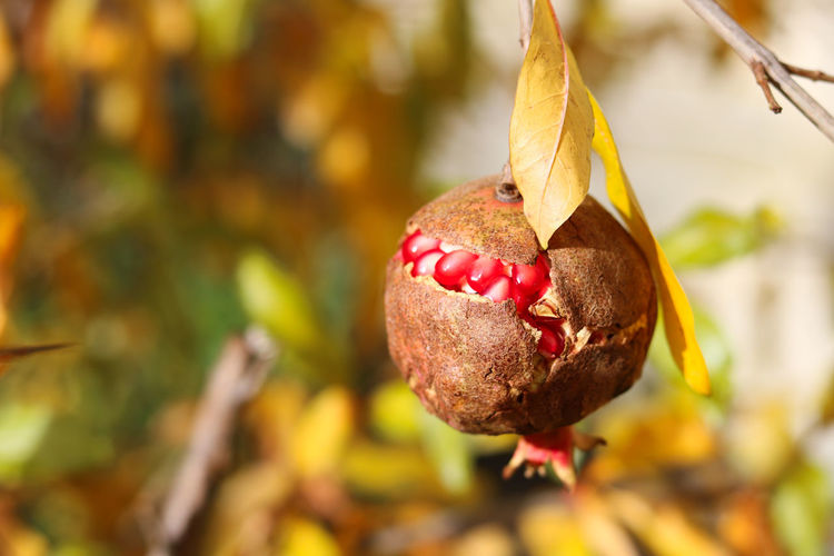 too much drought this year Autumn Autumn Colors Sunny Beauty In Nature Close-up Cracked Day Focus On Foreground Food Food And Drink Freshness Fruit Growth Leaf Nature No People Outdoors Pomegranate Pomegranate Seed Red Color Tree Yellow Color