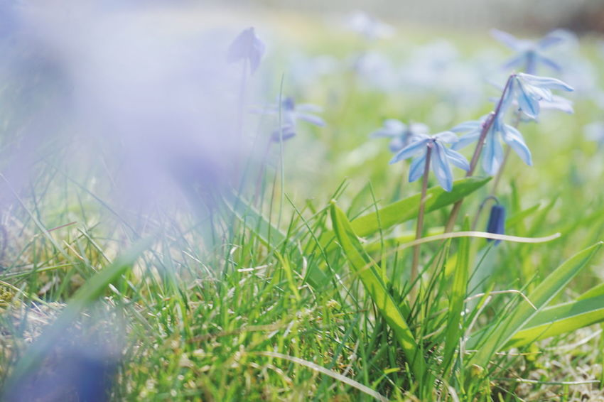scillas in the grass Scilla Scilla Spring Springtime Spring Flowers spring into spring Blue Grass Green Color Flower Head Flower Rural Scene Uncultivated Summer Springtime Meadow Water Wildflower Close-up Flowering Plant Blade Of Grass Plant Life Crocus Botanical Garden Plant Part