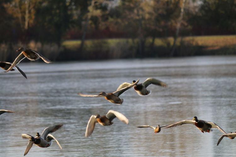 Enten Enten Flug Enten Am See Enten Auf Dem Eis Ententeich Entenvögel GERMANY🇩🇪DEUTSCHERLAND@ Teich See Enten Füttern