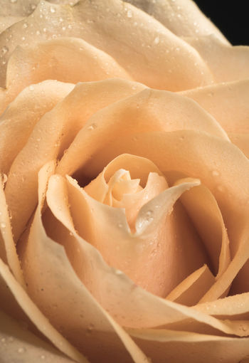 Close-up Freshness Vulnerability  No People Fragility Flower Beauty In Nature Backgrounds Flowering Plant Petal Full Frame Food And Drink Plant Rosé Food Inflorescence Drop Flower Head Wet Softness