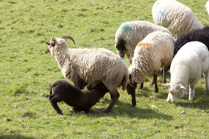 lamb nursing Agriculture Animal Animal Family Animal Themes Day Domestic Domestic Animals Field Grass Grazing Group Of Animals Herbivorous Lamb Land Livestock Mammal Nature No People Outdoors Pets Plant Sheep Vertebrate Young Animal