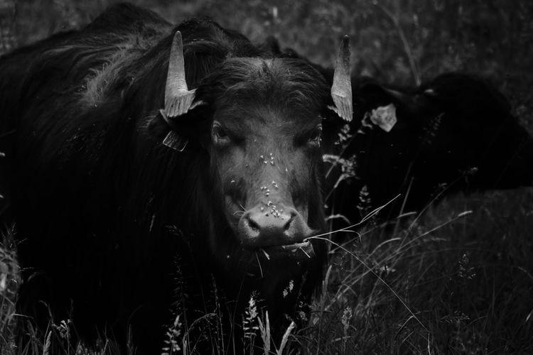 Portrait of cow in a field