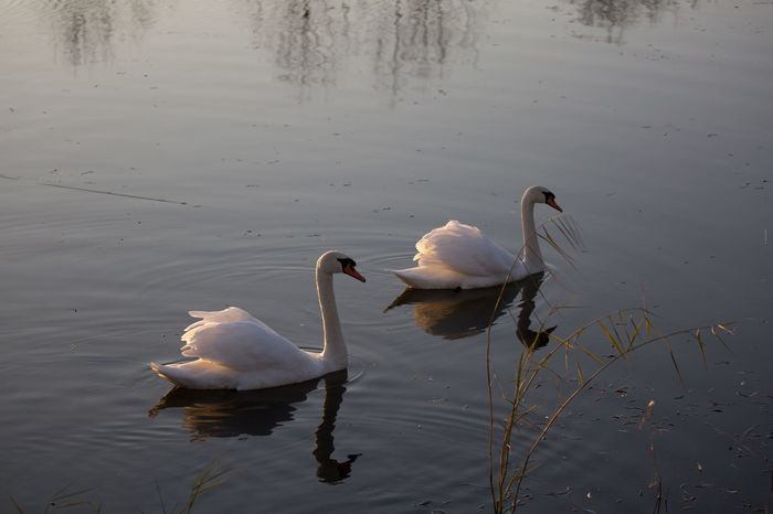 Animal Themes Animals In The Wild Beak Bird Escapism Getting Away From It All Lake No People One Animal Recreational Pursuit Side View Swan Swimming Togetherness Two Animals Water Weekend Activities White White Color Wildlife