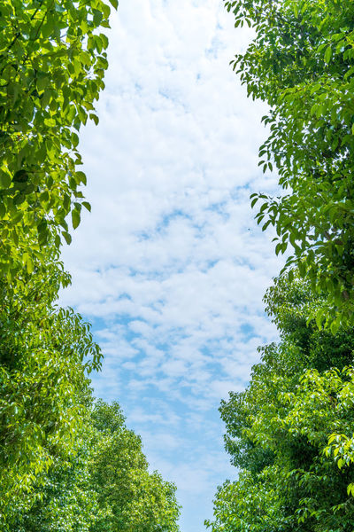 Blue sky and green trees Cloud Composition Green Morning Natural Nature Plant Tree Backgrounds Blue Sky Day Dicui Early Morning Energy Saving Environment Environmental Proteccccc Fresh Get Up In The Morninn Green Environmental Green Leaves Green Plant Leaf Leaves No Pollution Pollution Control
