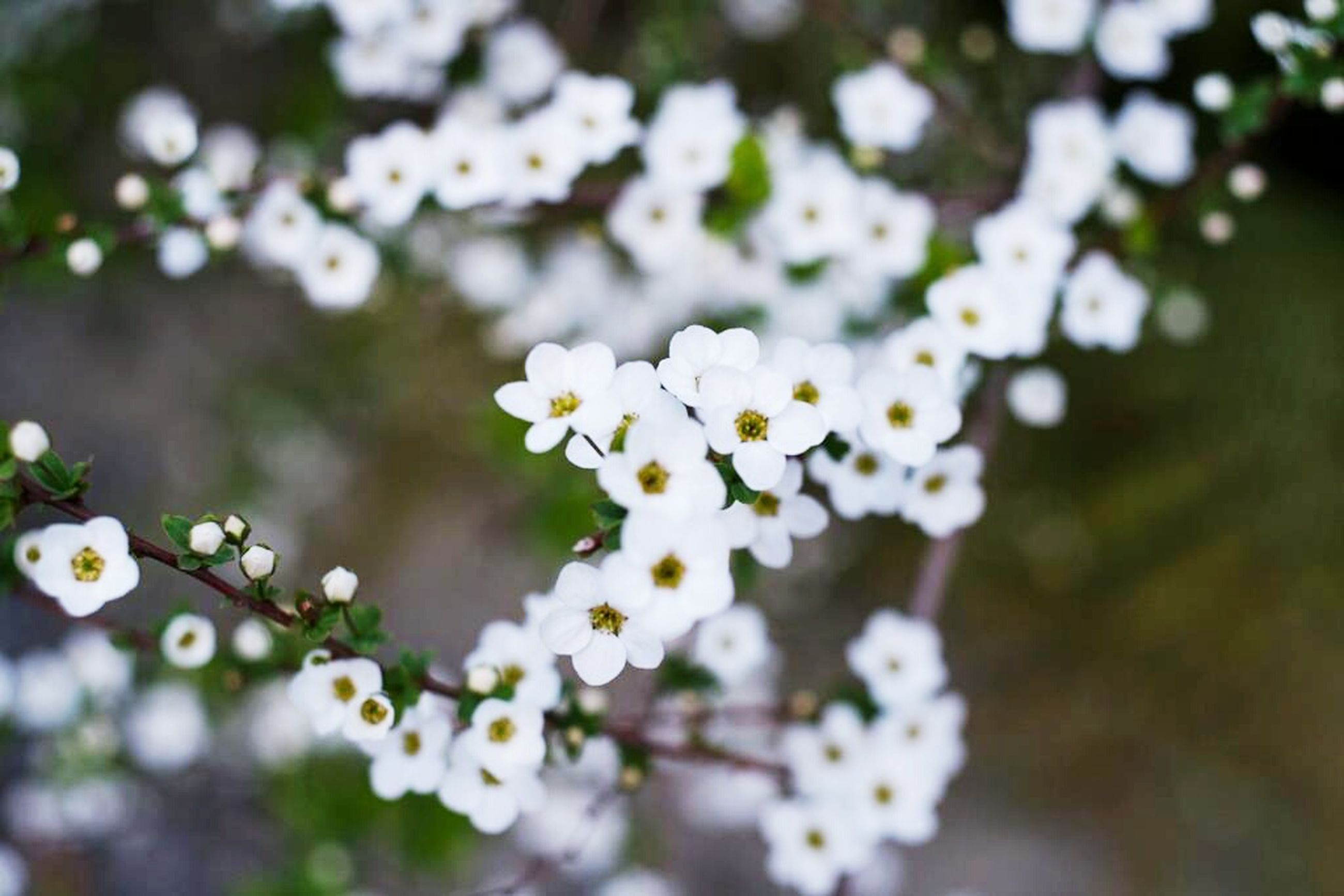 flower, freshness, white color, fragility, growth, petal, beauty in nature, focus on foreground, blooming, flower head, nature, close-up, selective focus, in bloom, blossom, plant, white, outdoors, park - man made space, springtime