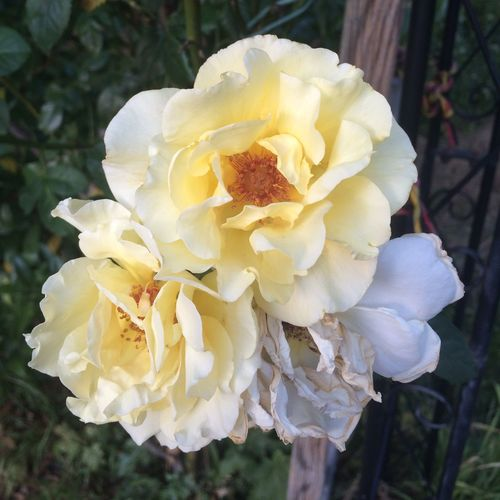 Follow me for more 😊 Roses Yellow Flower Taking Photos Hanging Out Nature_collection Nature EyeEm Nature Lover Flowers And Roses