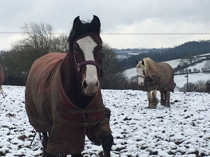 Horses Winter Snow Animal Themes Field Cold Temperature Weather Mammal Domestic Animals Nature No People Sky Day Outdoors