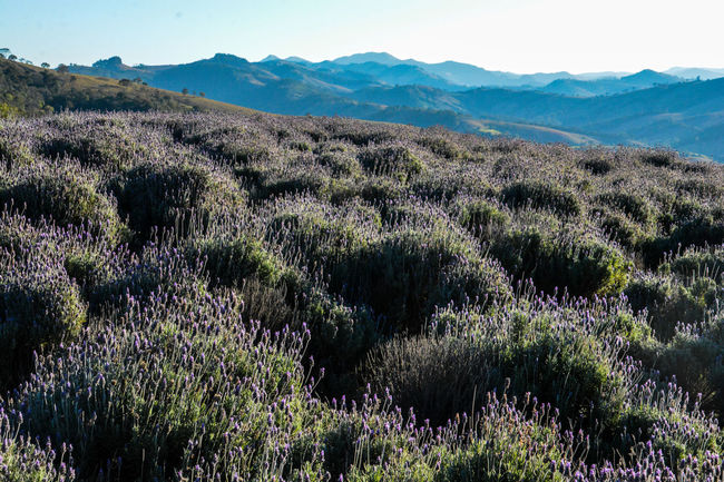 ezefer Agriculture Beauty In Nature Cunha Day Growth Horizontal Landscape Lavanda Lavanda Field Lavandario Lush - Description Mountain Mountain View Mountains Nature No People Outdoors Scenics Sky Tranquil Scene Tranquility Tree