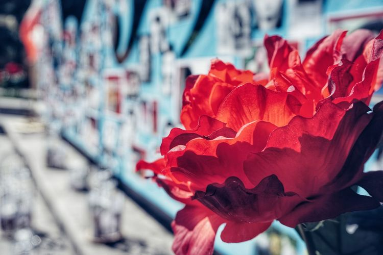 Memorial 2019 Niklas Storm Juli Free Iran Flower Red Flower Head Close-up Petal Single Rose Single Flower Rose - Flower In Bloom My Best Photo The Photojournalist - 2019 EyeEm Awards The Street Photographer - 2019 EyeEm Awards