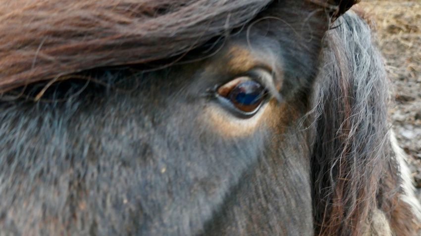 Pony Pony Eye Horse Eye Horse Brown Brown Hair One Animal Animal Themes Close-up Livestock Mammal Domestic Animals Outdoors Day No People Nature