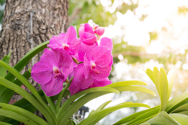 Pink orchid flowers in the garden Beauty In Nature Close-up Day Flower Flower Head Freshness Green Color Growth Leaf Nature No People Orchid Blossoms Orchid Blossoms Orchid Flower Orchids Orchid Collection Orchid Flower Orchid Flowers Orchid Flowers In The Park, Thailand. Orchid Love Outdoors Petal Pink Color Plant Tree