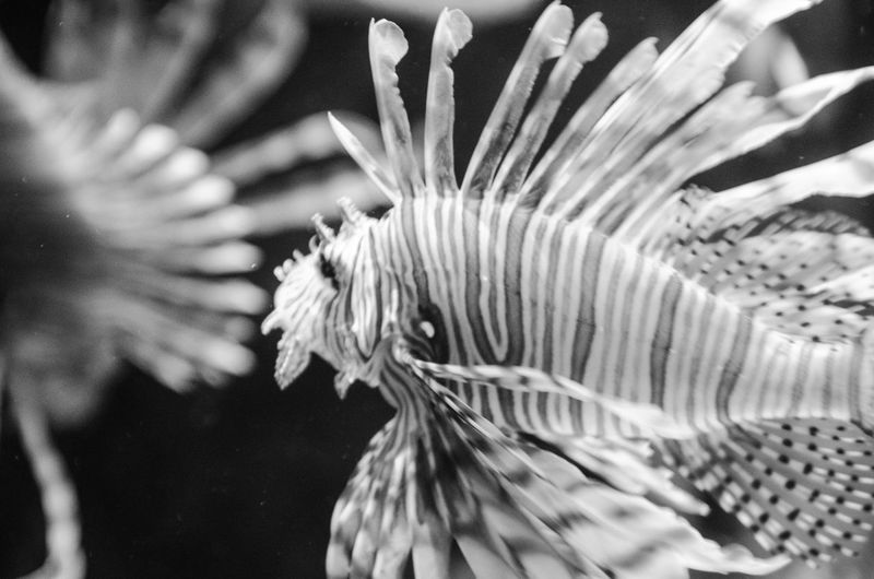 Black And White Close-up Detail Fish Lionfish Marine Natural Pattern Nature