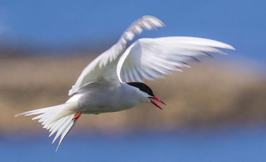 Side View Of Arctic Tern Flying Outdoors
