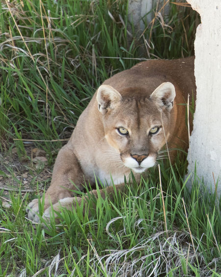 Mountain Lion Animal Head  Animal Themes Animal Wildlife Cat Feline Nature One Animal