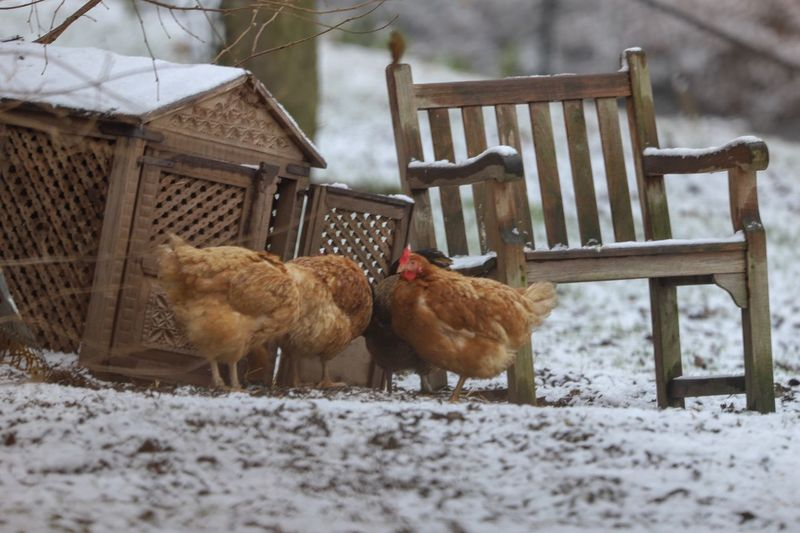 Chicken in the snow Chicken - Bird Snow Animal Themes Animal Mammal Winter Cold Temperature Group Of Animals Domestic Animals Pets Vertebrate Livestock Land Nature