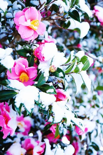 Flower Beauty In Nature Day Blooming No People Winter Frozen Cold Japan Snow PLZ FOLLOW ME Tree Nature