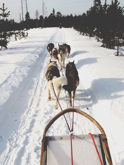 My Winter Favorites Finland Finlandia Husky Huskies Sleddog Sledding Sledging Husky ♡ Husky Love Wintertime Winter Sports Winter Wonderland Snow ❄ Sledge Dog Alternative Fitness The Following Feel The Journey Original Experiences What a fantastic experience - Going on a sled dog trip in a snowy silent landscape and with these lively and lovely huskies On The Way Adventure Club Adventure Buddies Snow Sports