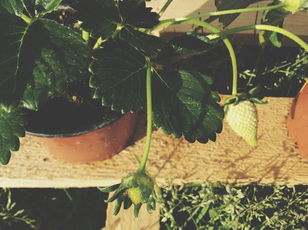 Natural Strawberry Green Growing Strawberry Pot Grass Leaf Green Leaf Growing Nature Raw Green Strawberry