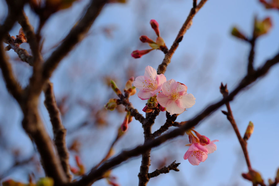 Cherry Blossom Cherry Blossoms FUJIFILM X-T2 Japan Sakura Beauty In Nature Branch Close-up Day Flower Flower Head Fragility Fujifilm Fujifilm_xseries Growth Nature Petal Pink Color Sakura Blossom Springtime Tree X-t2 桜 櫻花 河津桜