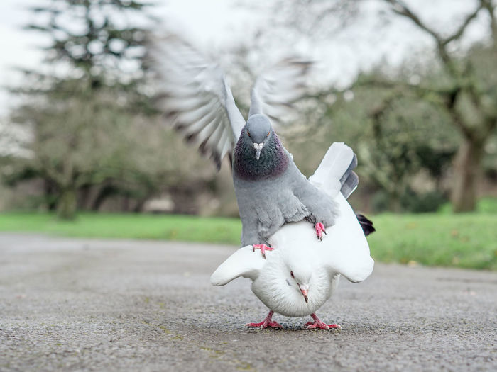 Doves mating on footpath