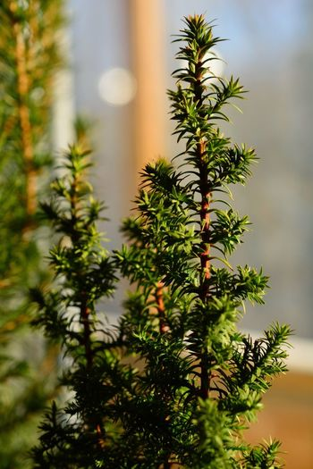 Growth Nature Tree No People Close-up Outdoors Beauty In Nature Day Needle - Plant Part кипарисник окно дерево кипарис зима Nature Window Tree
