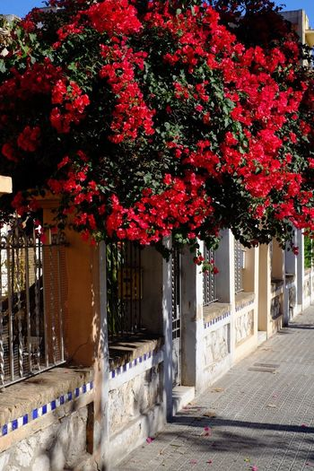 Growth Beauty In Nature Street Photography Streetphotography Flower Bougainvillea Red Red Color Red Flower SPAIN España