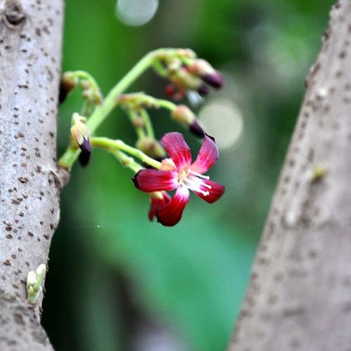 Flower Bilimbi Kerala