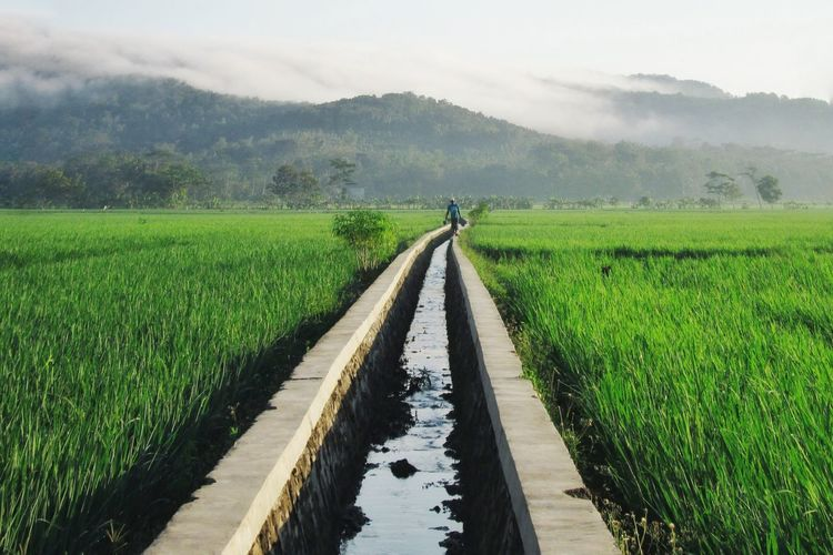 rice field Landscape ASIA INDONESIA Kebumen Life Love People 35mm People On The Street Nature Street Farmer Irrigation Equipment Water Rural Scene Cereal Plant Agriculture Spraying Field Vegetable Wet Crop