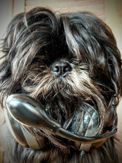 headogphone Shitzu Eyeem Market Headphone Audio Electronics Black Color Black Hair Doglovers Analogue Sound Close-up
