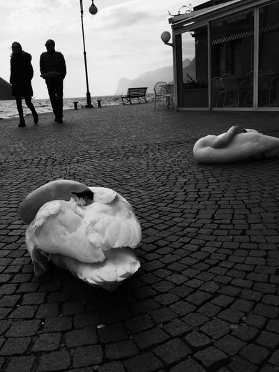 Torbole Lago Di Garda Trentino  Bella Italia Beauty Bellezza Birds Swans Welcome To Black Pet Portraits