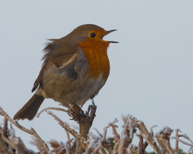 Robin singing on a frosty day. (Erithacus rubecula) Beak Bird Day Nature No People Outdoors Perched Perching Robin Wildlife