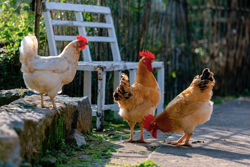 鸡,家禽,农村, Animal
