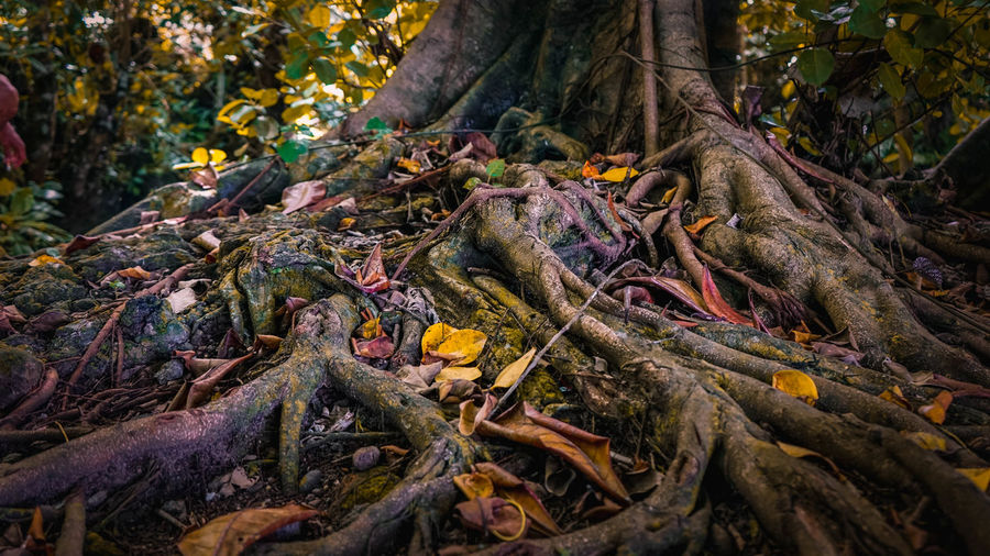Close-Up Of Roots In Forest During Autumn
