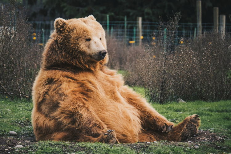 Brown bear sitting on grass
