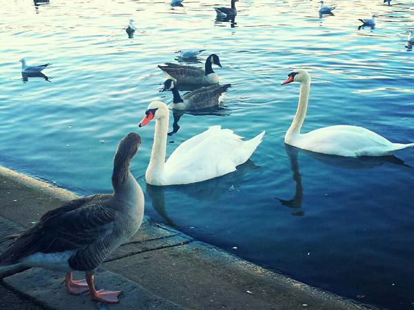 Up close and personal - Hyde Park City Of London Lakesideview Swan