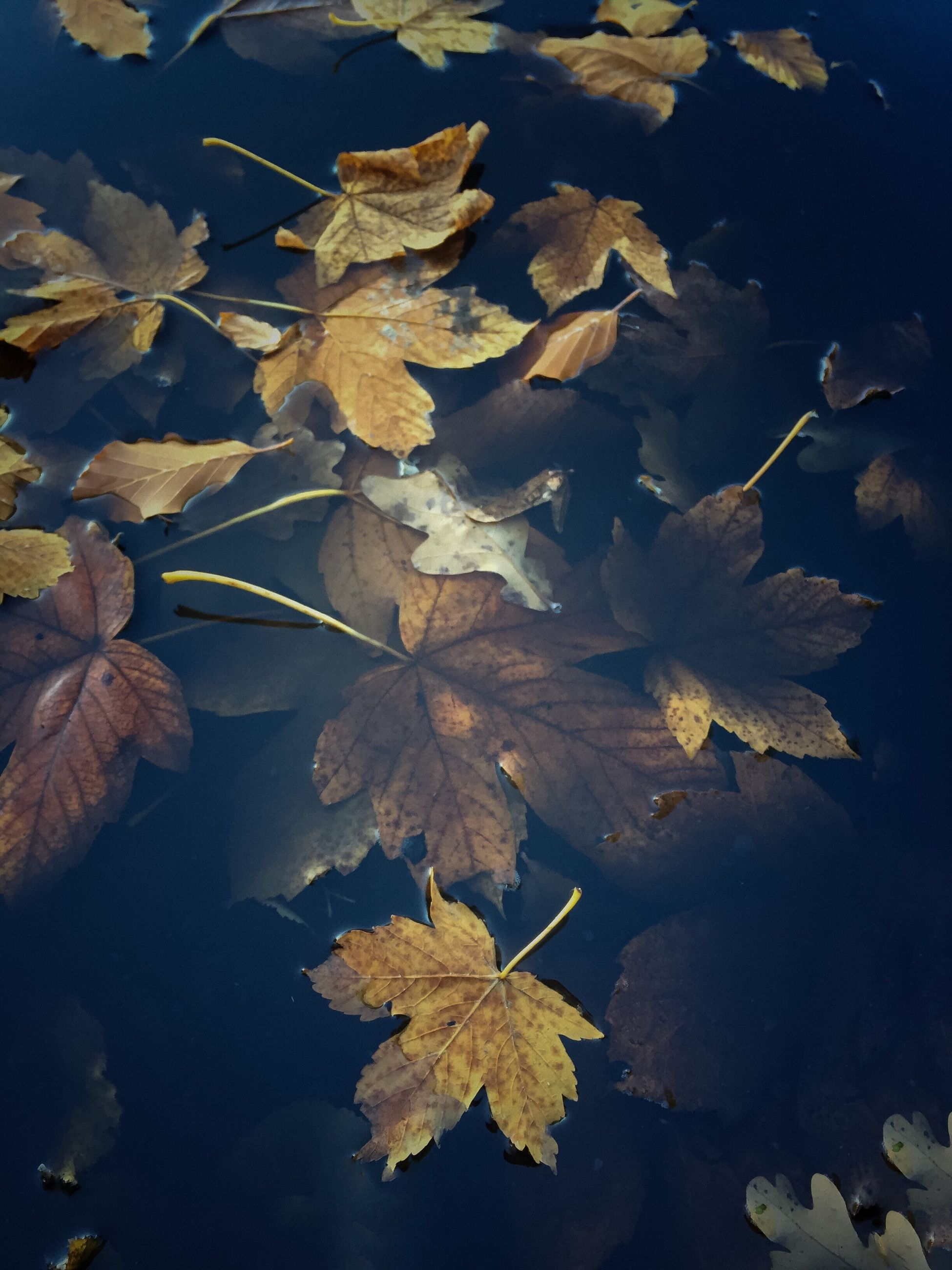 leaf, autumn, nature, change, plant, beauty in nature, no people, tree, maple leaf, outdoors, close-up, scenics, landscape, water, floating on water, fragility, branch, day, maple