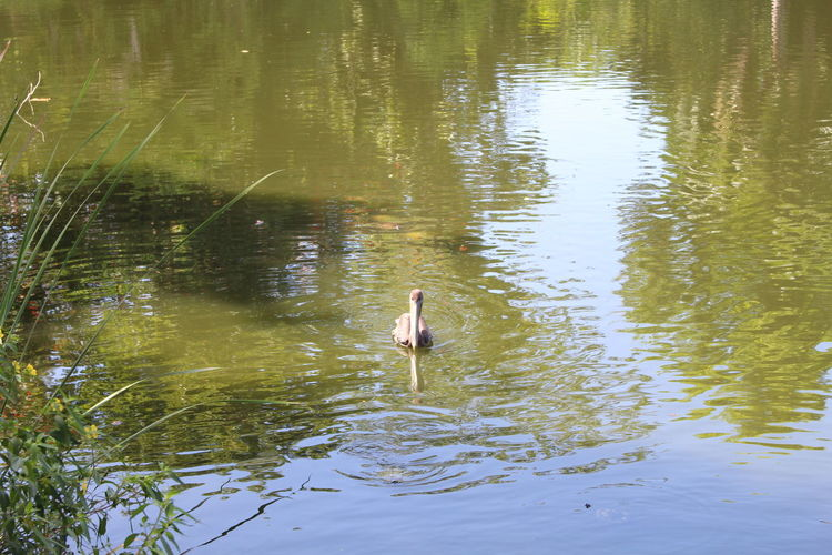 Animal Themes Animals In The Wild Bird Day Lake Nature One Animal One Person Outdoors Reflection Swan Swimming Water Waterfront
