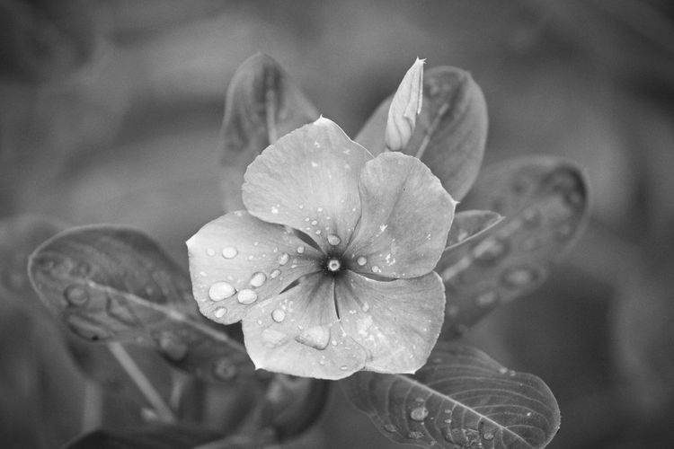 Flowering Plant Flower Vulnerability  Petal Beauty In Nature Fragility Plant Flower Head Drop Inflorescence Growth Freshness Water Wet Close-up Focus On Foreground Nature No People Outdoors Springtime RainDrop Rain Pollen Dew Purity