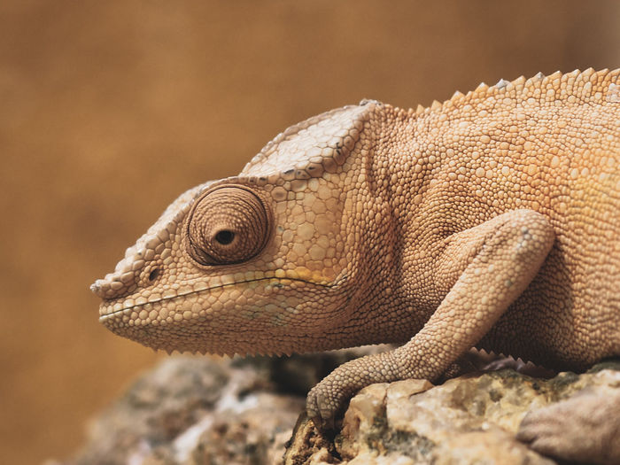 Close-up of chameleon on rock