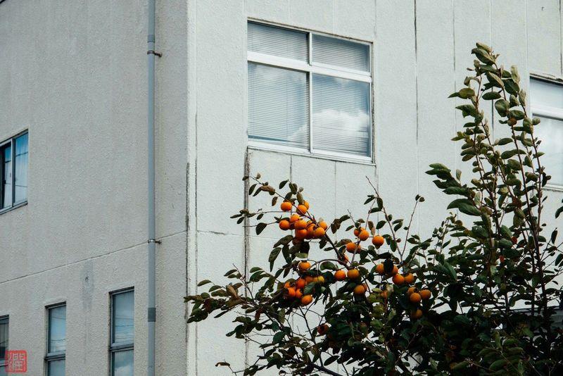 実 Fruit Fruits Persimmon Persimmons Persimmontree Fall Autumn Autumnday SHONAI SAKATA